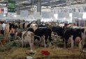 Une forte participation de la race Holstein